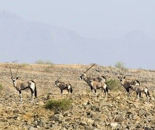Doro Nawas gemsbok in Damaraland