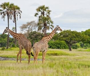 Getty giraffe in Katavi National Park