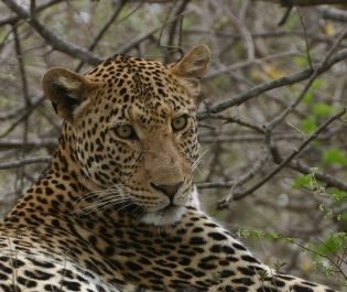 Jenn O'Neill leopard in South Africa