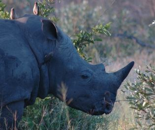 Rhino in South Africa savannah