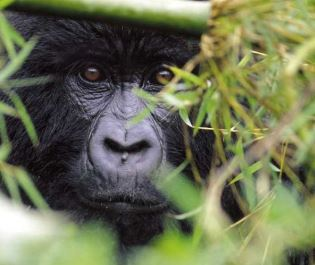 Sabyinyo Silverback Lodge gorilla in Volcanoes National Park