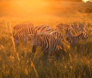 Getty zebra in Amatikulu Nature Reserve