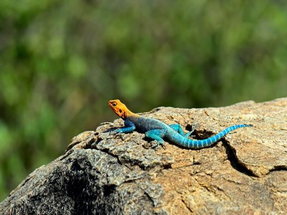African rainbow lizard in Tsavo National Park
