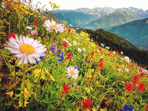 Field of wildflowers with views of the Selkirk Mountains