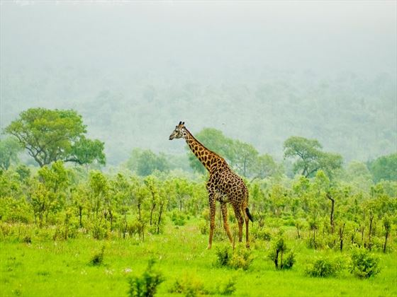 Giraffe in Tsavo National Park