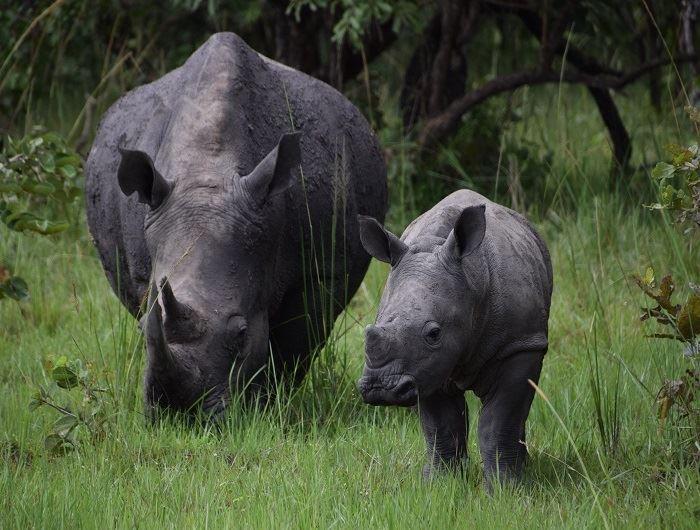 Mike Collins' rhino in Uganda