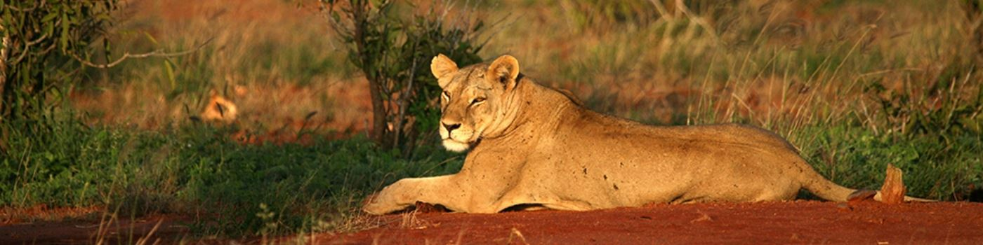 Finch Hattons Luxury Camp lion