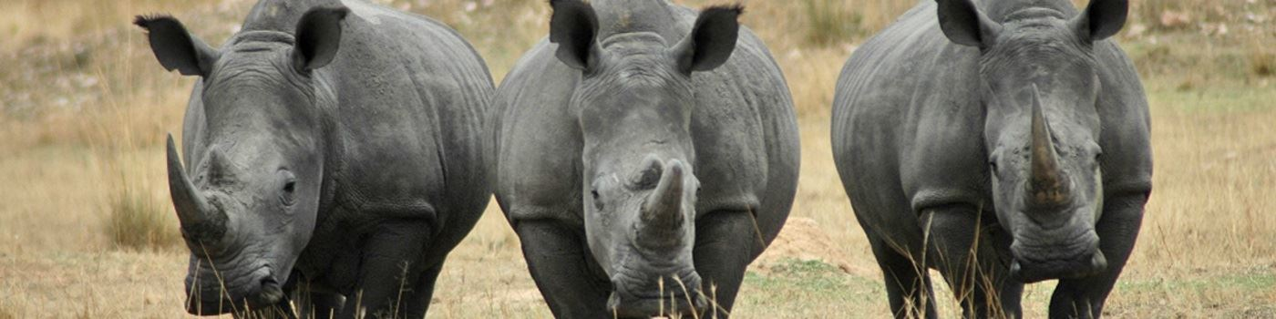 Rhino in Nkomazi Game Reserve