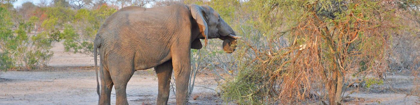 Sabi Sand Private Game Reserve elephant grazing
