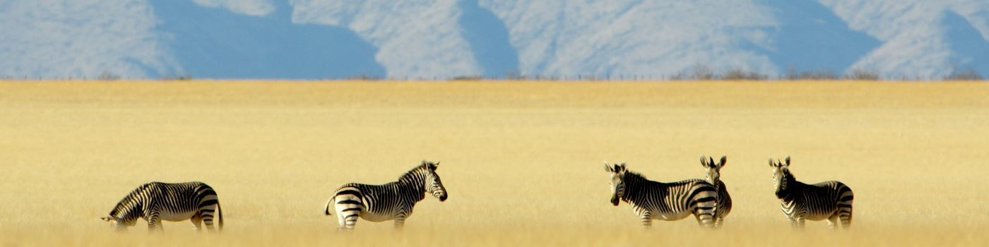 Zebra in the Highlands