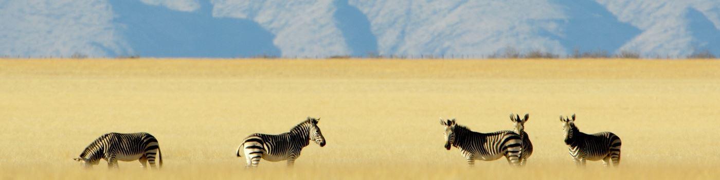 Zebra in the Highlands