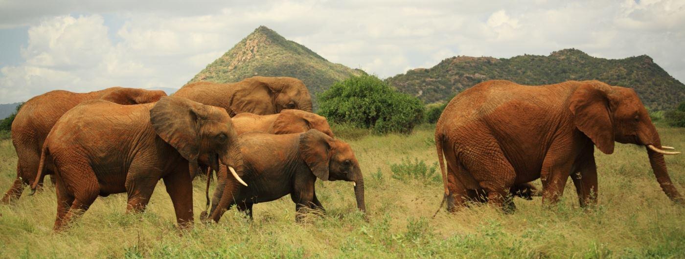 Getty elephants in Samburu