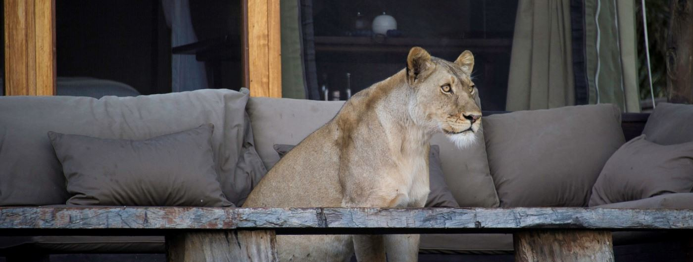 Lion outside tented room