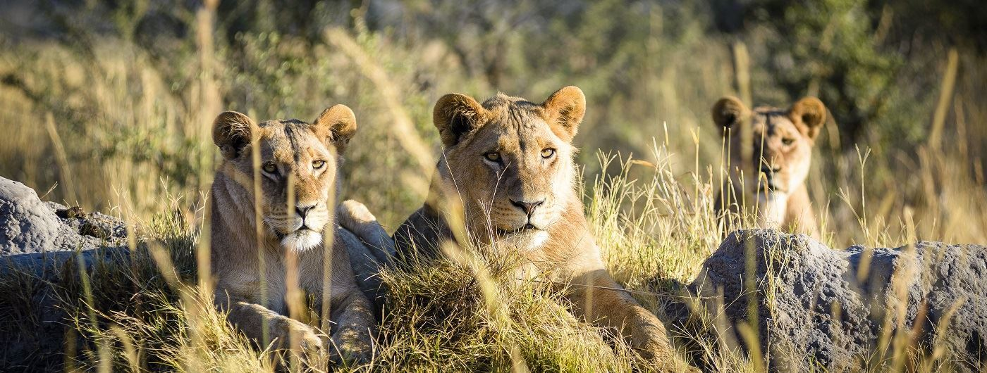 Lionesses at Sanctuary Chief's Camp