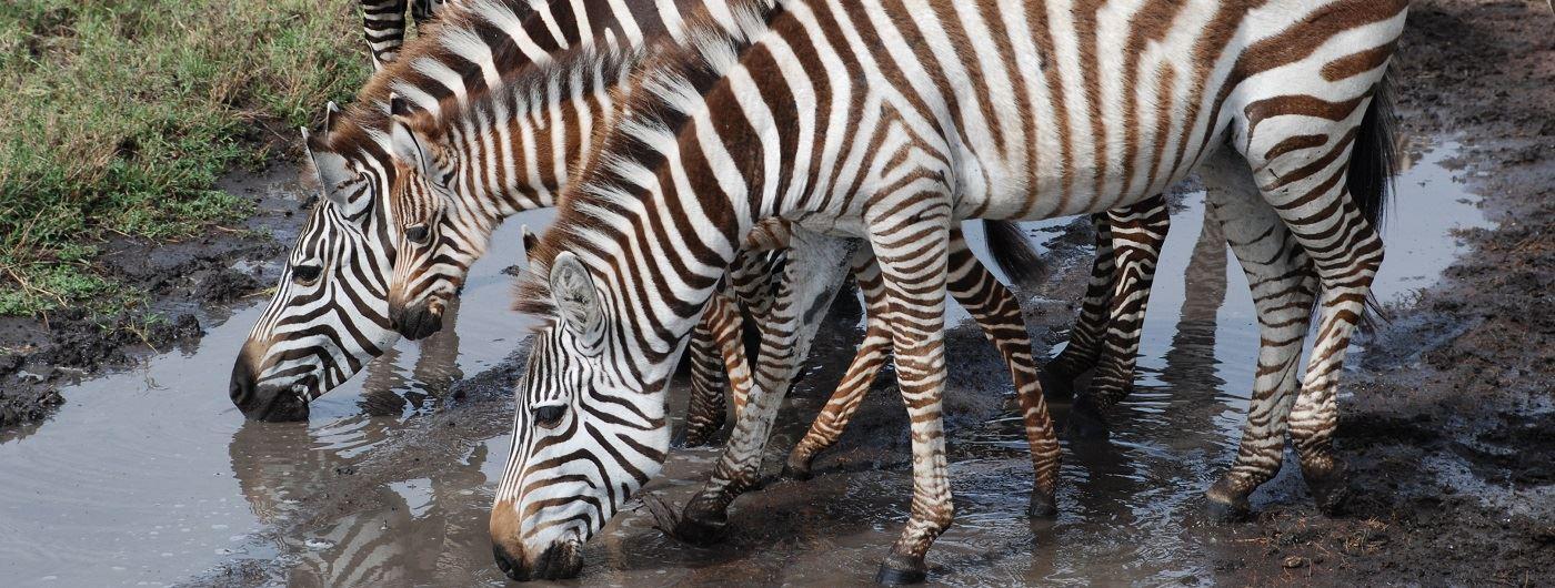 Zebra drinking in Tanzania