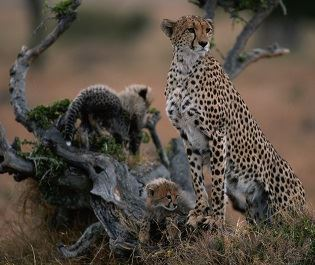 Cheetahs in the Masai Mara