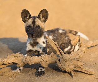 Motswari Private Game Reserve wild dog puppy