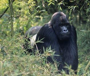Gorilla - getty