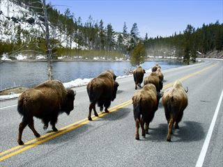 Buffalo on the road at Yellowstone