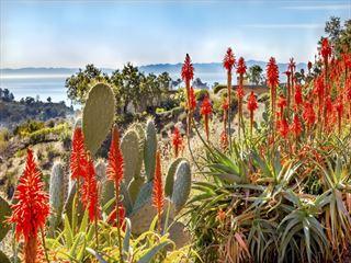 Cacti in Santa Barbara
