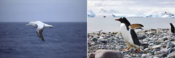 Albatros flying and Gentoo penguins