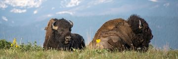 Bison resting in the prairies, South Dakota
