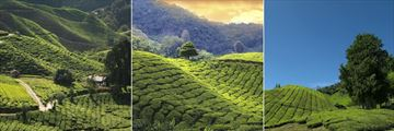 Landscape Views of Tea Plantations at Cameron Highlands Resort