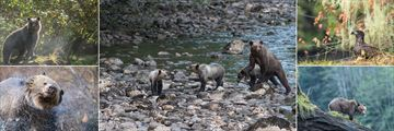 Great Bear Lodge, Bears, Cubs and Bald Eagles can be Spotted in the Forest With the Arrival of the Salmon