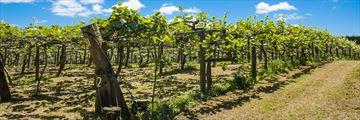 Kiwi fruit plantation, Coromandel Peninsula