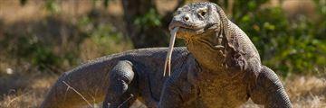 Komodo Dragon at Komodo National Park, Indonesia