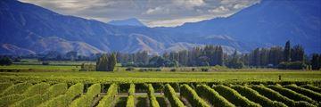 Marlborough wine crop