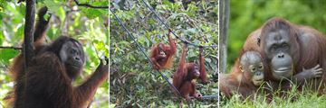 Orangutan sightings in Borneo