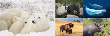 The Big Five: Polar Bear, Black Bear, Beluga Whale, Bison & Moose