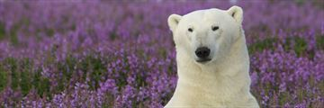 Cute polar bear in the Canadian summer
