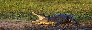Saltwater crocodile in Kakadu, Katherine