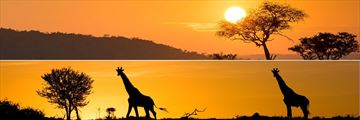 Serengeti sunset and giraffes