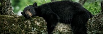 Sleeping black bear in the Great Smoky Mountains, Tennessee