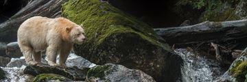 Spirit Bear Sighting in The Great Bear Rainforest