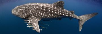 Whale shark and Cobia in Ningaloo Reef