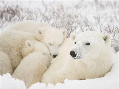 Polar Bear Sightseeing