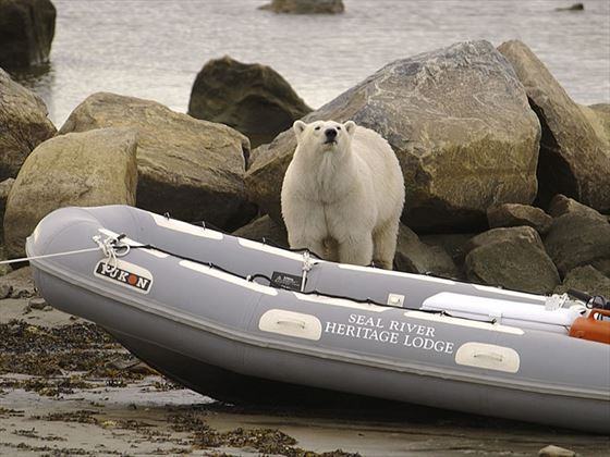 Polar bear with Zodiak boat