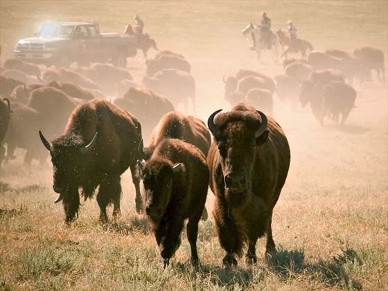 Buffalos, Custer State Park