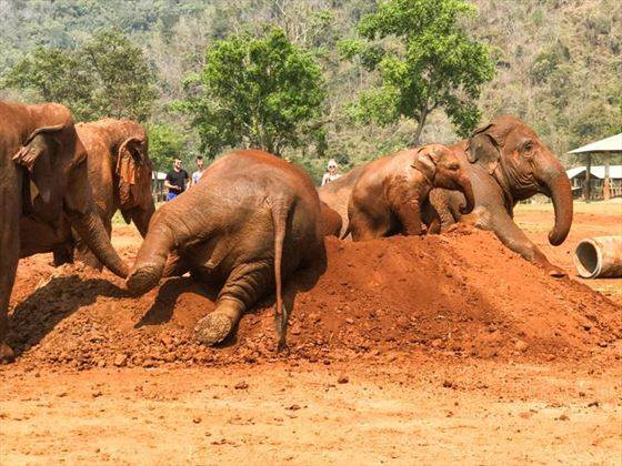 Mud Bathing, Elephant Nature Park, Chiang Mai