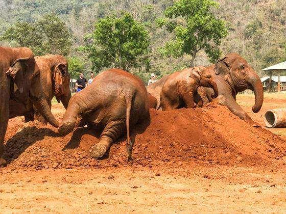 Mud Bathing, Elephant Nature Park, Chiang Mai