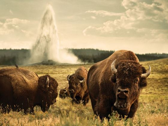 Incredible wild bison of Wyoming