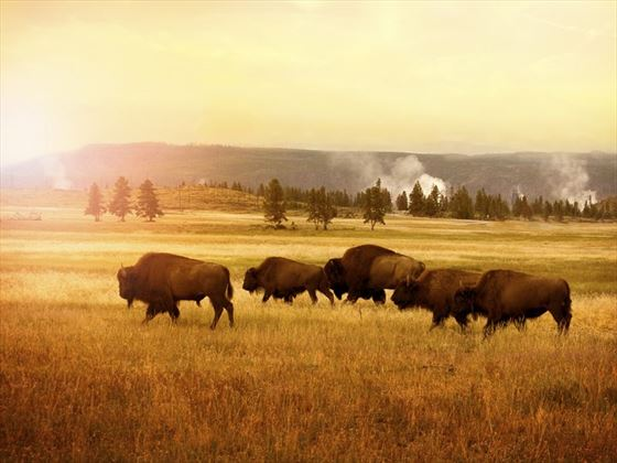 Herd of bison in Yellowstone