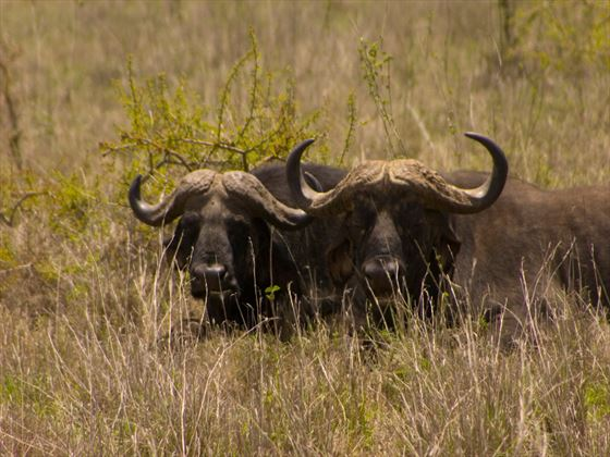 Buffalo at Nairobi National Park