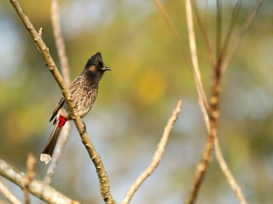 Bulbul bird in Chitwan National Park
