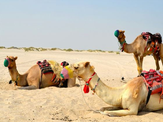 Camels in the Qatari desert
