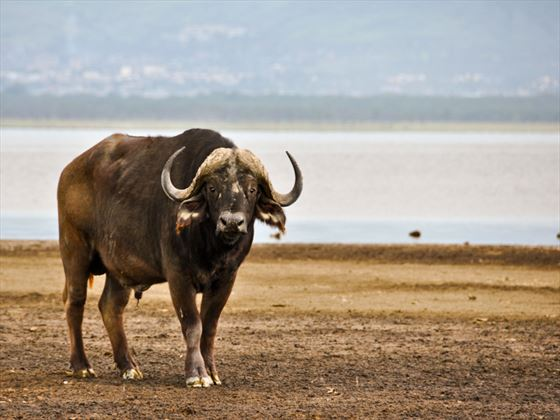 Cape Buffalo at Lake Nakuru National Park